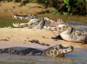 Caiman in the Pantanal, Brazil