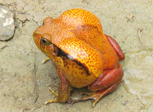 Keep an eye out for the tomato frog