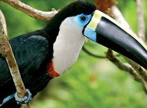 Toucan in the Amazon