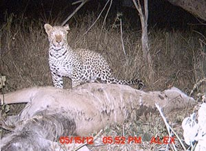 Leopard caught on camera trap