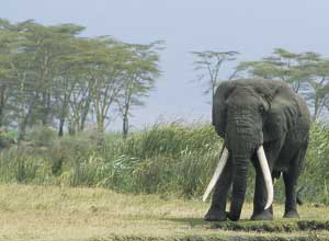 A huge tusker in the Ngorongoro Crater