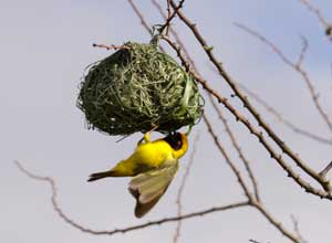 A busy weaver bird