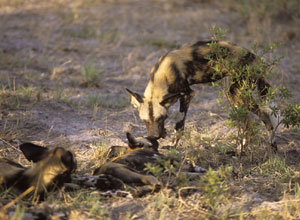 Watch wild dogs and other wildlife in Selinda