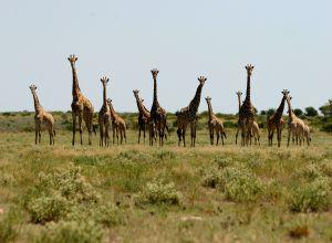 Giraffe, Botswana