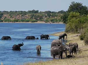 Elephants, Chobe River, Botswana