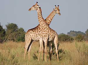 Savuti giraffi