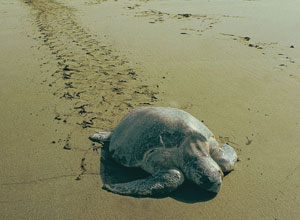 Turtle on Tortuguero beach