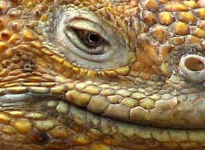 Close up iguana, Galapagos