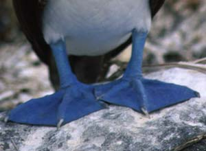 Blue-footed Booby feet, Galapagos Islands
