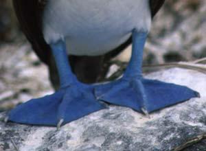 Blue-footed Booby feet, Galapagos Islands
