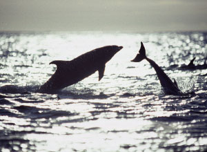 Watch bottle-nose dolphins near Marchena