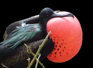 Magnificent frigatebird, Galapagos