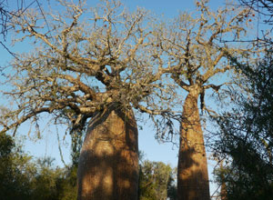Mighty baobabs