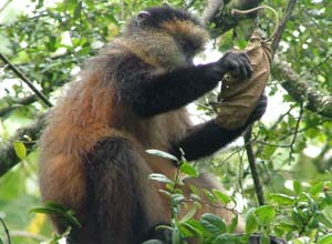 See golden monkeys in the forest