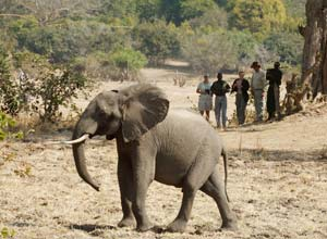 Meeting an elephant on a walking safari from Nsolo