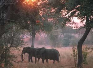 Elephants in South Luangwa