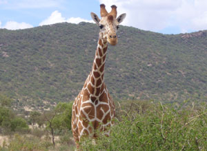 Giraffe on a game drive