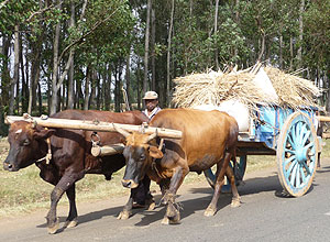 Oxcart traditional transport