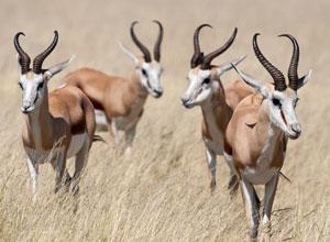 Springbok near Ongava Lodge