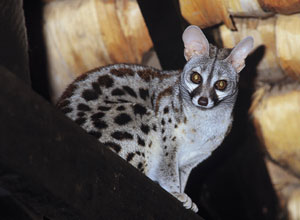 Genet in the Ndutu bar