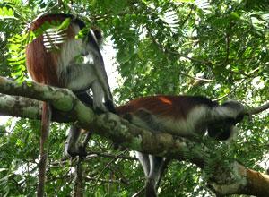 Colobus monkeys in Jozani forest