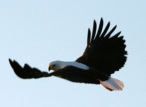 Fish eagle at Blue Zebra