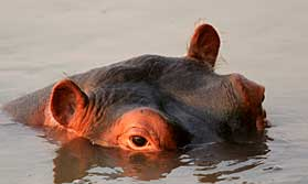 Hippo in South Luangwa